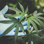 安省反對大麻工人些什麼?
